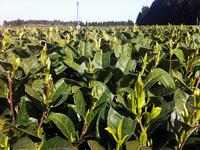 茶葉の色・香りの確認
